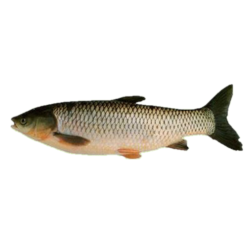 Picture of Grass Carp - 2 kg + (per kg)